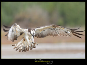 #osprey #falcopescatore www.wildlifefoto.it