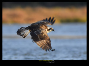pandion osprey falco pescatore