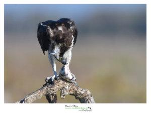 Osprey Pandion Falco Pescatore