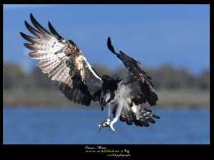 #falcopescatore #osprey www.wildlifefoto.it