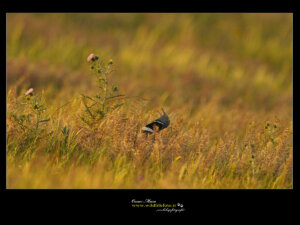 Gallina Prataiola little bustard