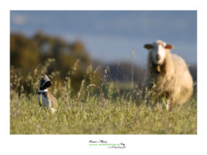 little Bustard Gallina Prataiola