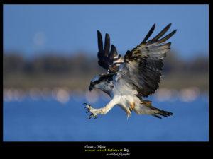 osprey www.wildlifefoto.it